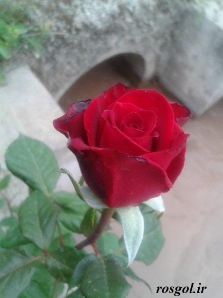 خدای زیبا،گل رز