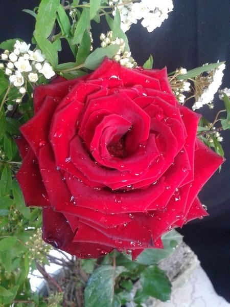 خدای زیبا ،رز قرمز