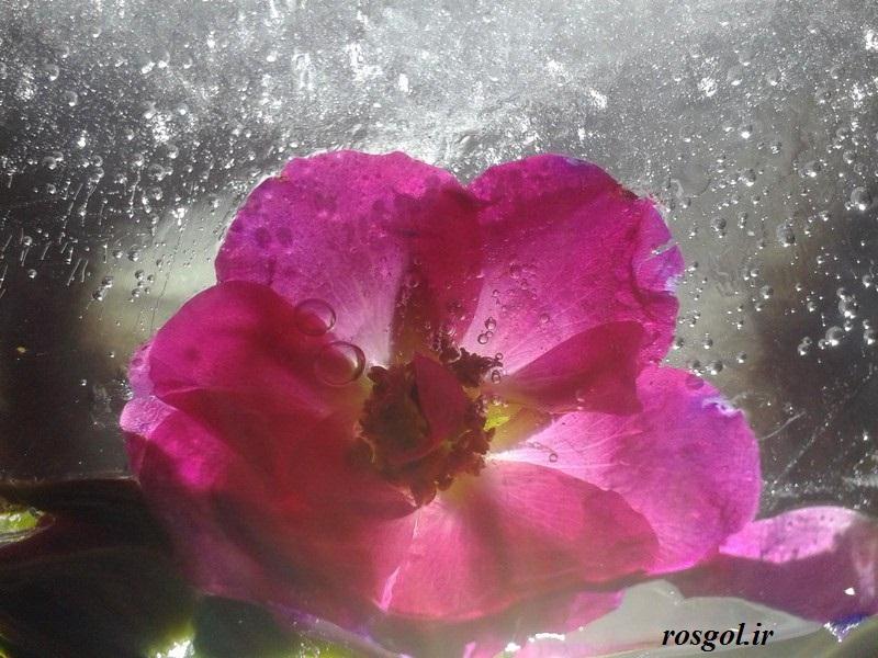 خدای زیبا،گل یخی