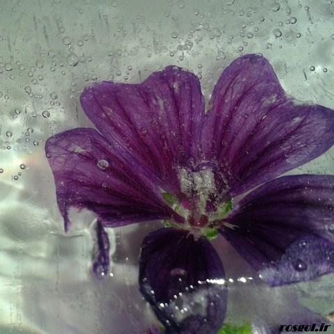 خدای زیبا ،گل یخی