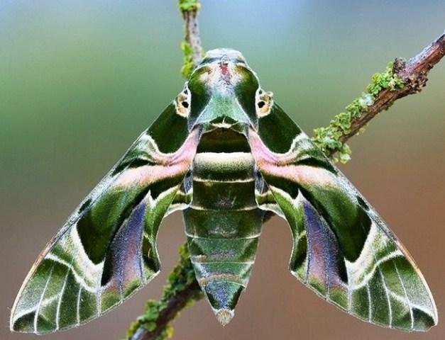 خدای زیبا ، پروانه برگ خشک